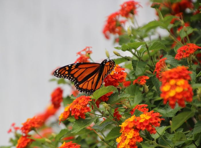 Orange And Yellow Lantana Beauty In Nature Colorful Butterfly Focus On Foreground Tranquil Scene No People