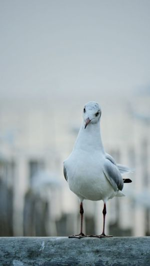 Close-up of seagull perching on retaining wall