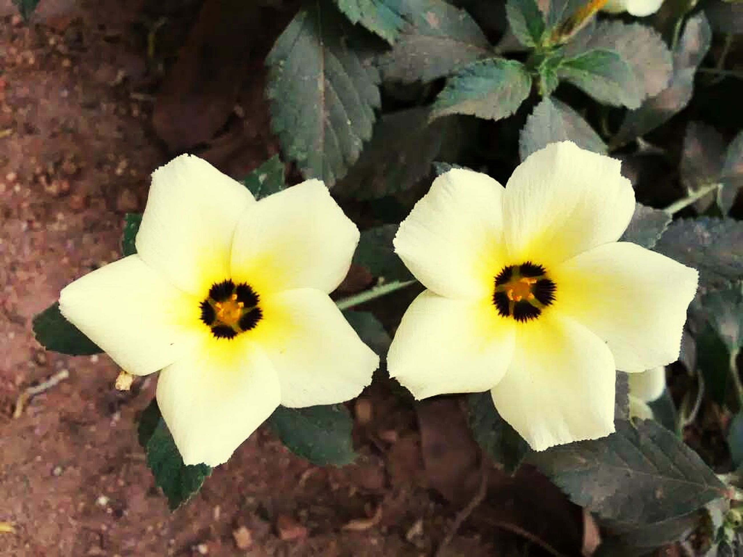 flower, petal, freshness, fragility, flower head, yellow, growth, beauty in nature, high angle view, blooming, nature, pollen, close-up, plant, white color, leaf, in bloom, focus on foreground, day, blossom