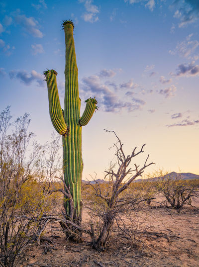 Low angle view of cactus plant growing on field against sky