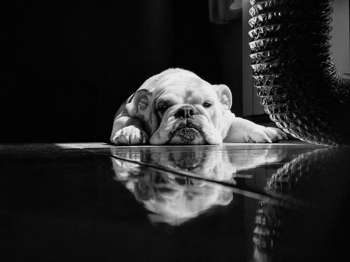 Portrait of english bulldog relaxing on floor at home