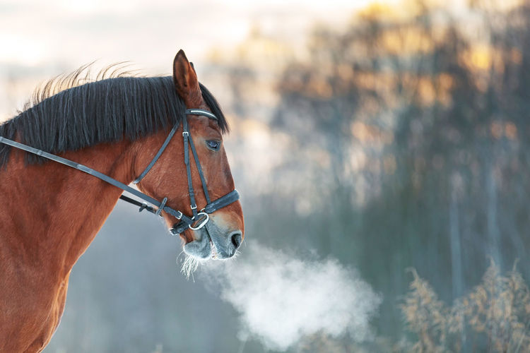 Close up portrait of a horse in winter at sunset. brown color. steam from the mare's nostrils