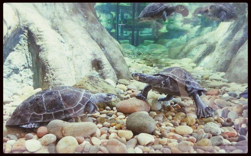 Turtles Aquarium Water Underwater
