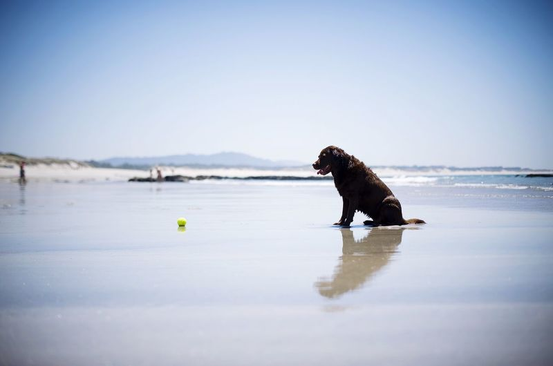 Dog and tennis ball at beach against clear sky