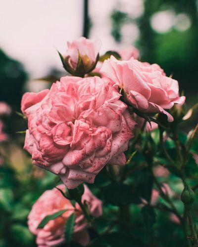 Beauty Bokeh Love Beauty Peaceful Poetic Summer Happiness Flowering Plant Flower Plant Beauty In Nature Pink Color Vulnerability  Fragility Petal Freshness Growth Close-up Flower Head Inflorescence Focus On Foreground Rosé Nature No People Day Rose - Flower Outdoors
