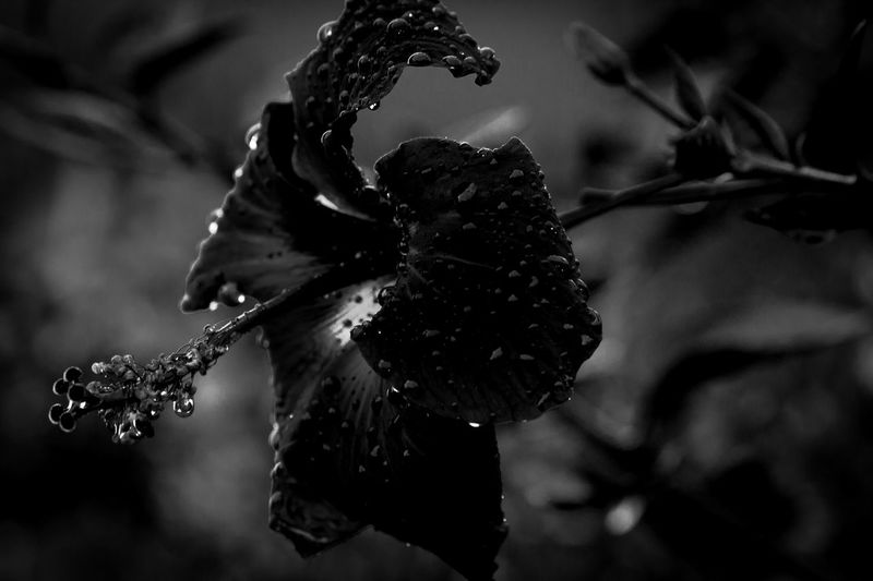 black beauty Beauty In Nature Black Close-up Dark Drop Flower Focus On Foreground Fragility Freshness Growth Nature's Diversities Naturephotography Low Key Nature Outdoors Plant The Mix Up Selective Focus Bloomberg Twig Wet Black Beauty Low Key Photography The Great Outdoors - 2016 EyeEm Awards Blossom