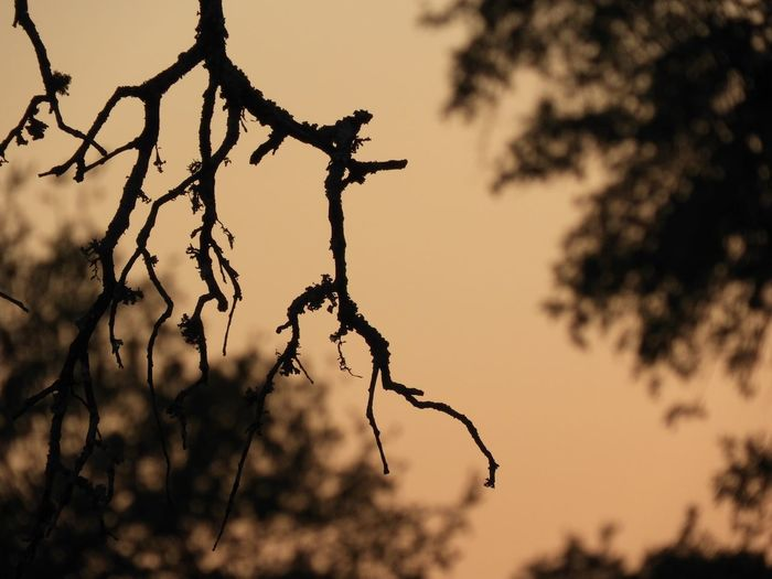 Dead oak branch against sunset twilight EyeEm Selects Tree Plant Sky Sunset Branch Silhouette Nature No People Beauty In Nature Focus On Foreground Low Angle View Outdoors