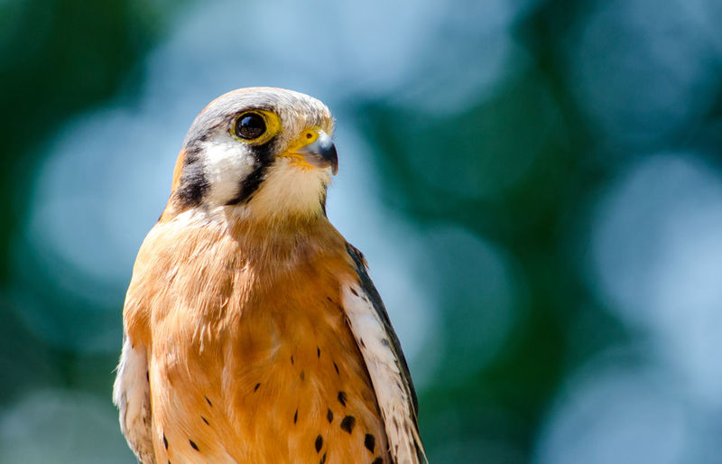 American kestrel bird close up, with room for copy