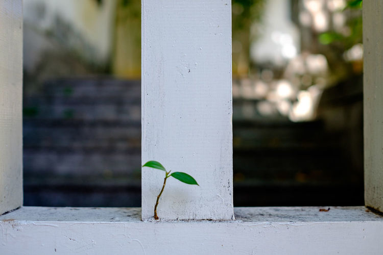 Close-up of plant growing on white fence