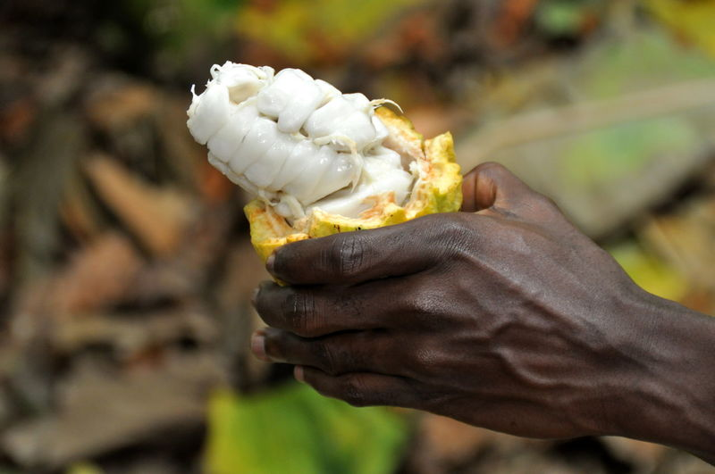 Close-up of hand holding cacao fruit