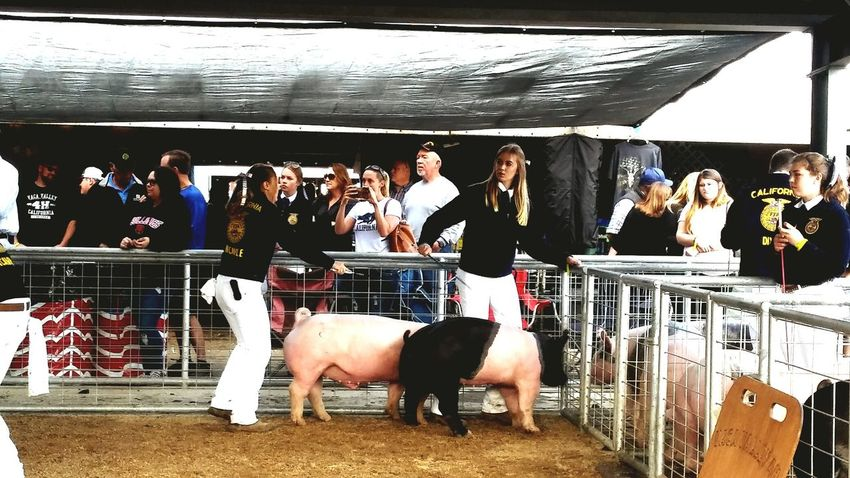 Show Time In The Ring Pigs FFA Fairground County Fair From My Point Of View Check This Out The Preasure Is On Norcal Cali Life At The Fair Best In Show Anticipation Hello World Rural California Dixon May Fair