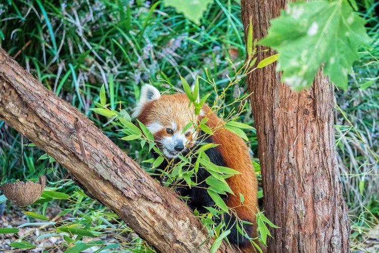 Red Panda EyeEm