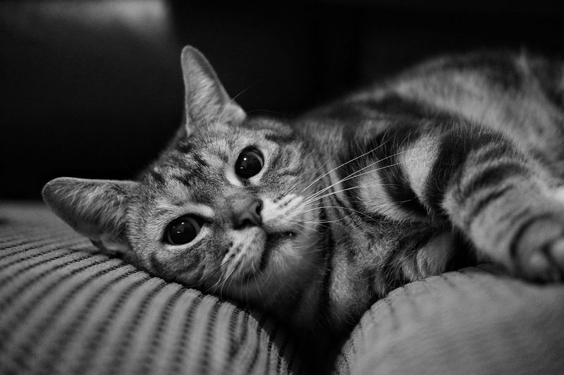 Domestic Cat Pets One Animal Looking At Camera Portrait Domestic Animals Mammal Animal Themes Close-up Feline No People Indoors  Tabby Cat Day
