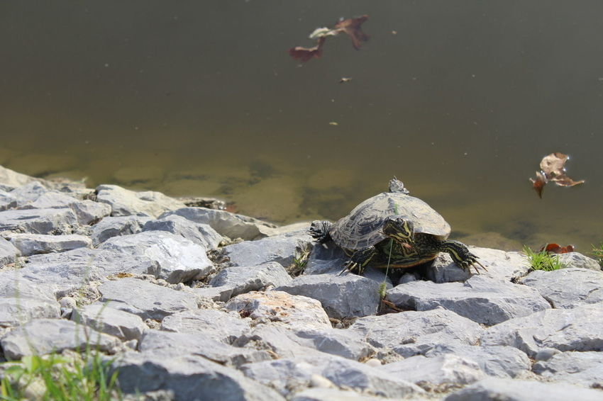 Little turtle on a rocks near the water EyeEmNewHere Animal Themes Day Nature One Animal Outdoors Reptile Turtle Water
