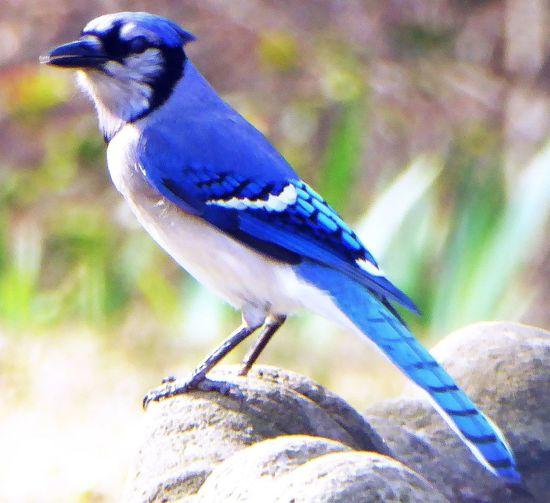 Blue Jay Animal