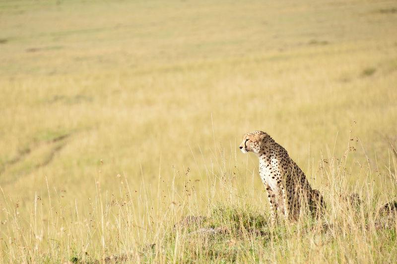 Cheetah Animal