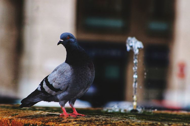 Close-up of pigeon against drinking fountain