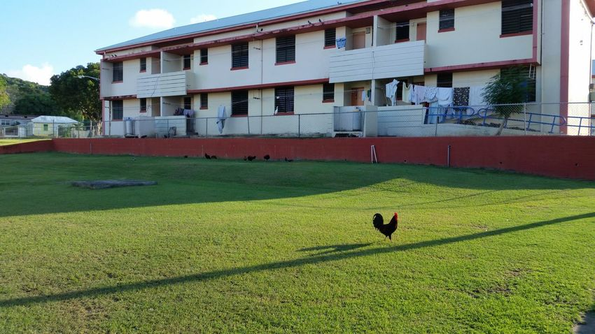 Public Housing Animal Themes Chickens No Edit/no Filter St.Croix, US Virgin Islands