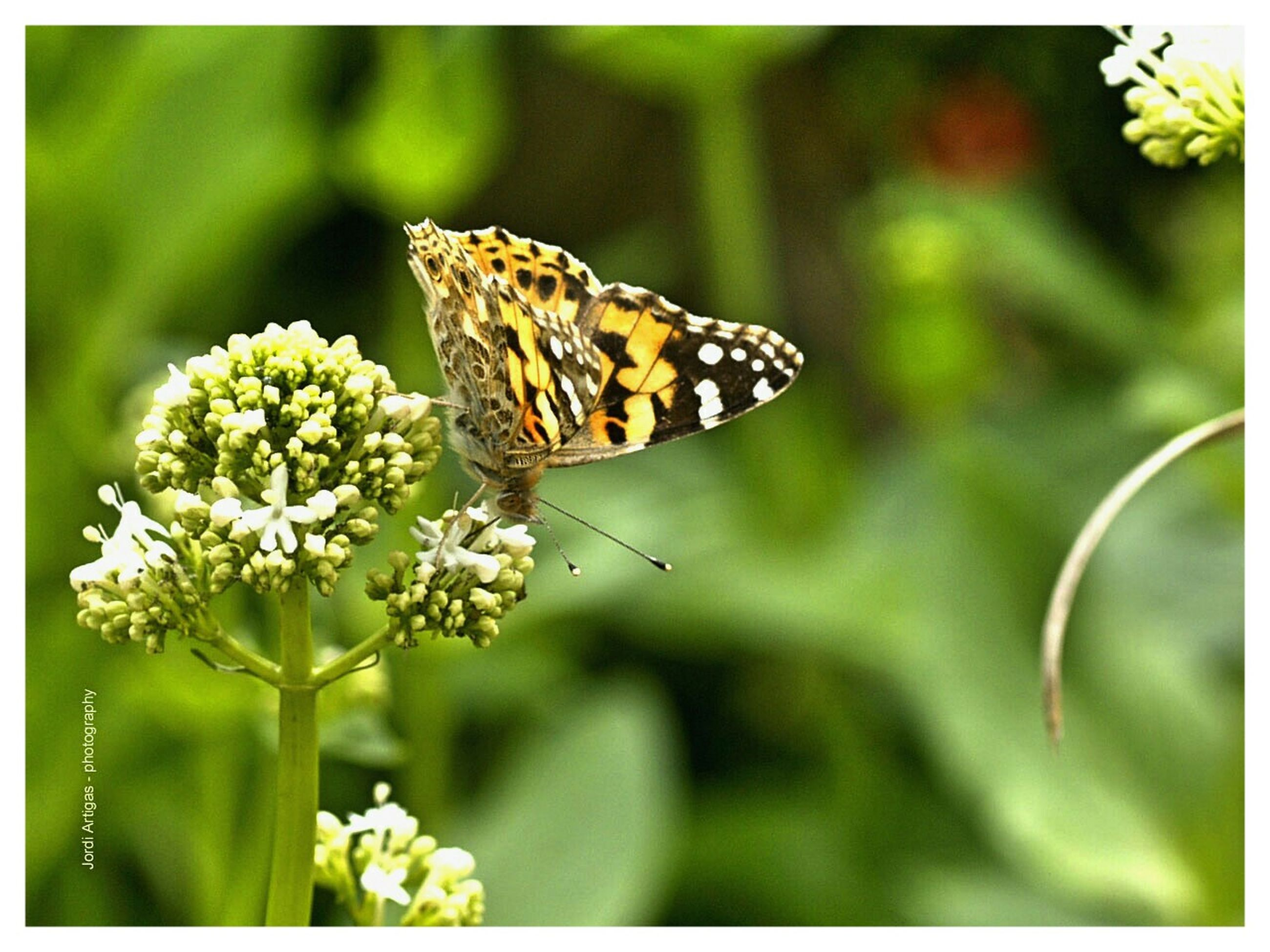 one animal, animal themes, animals in the wild, wildlife, flower, insect, butterfly, butterfly - insect, pollination, fragility, beauty in nature, close-up, freshness, focus on foreground, nature, growth, plant, petal, animal wing, perching