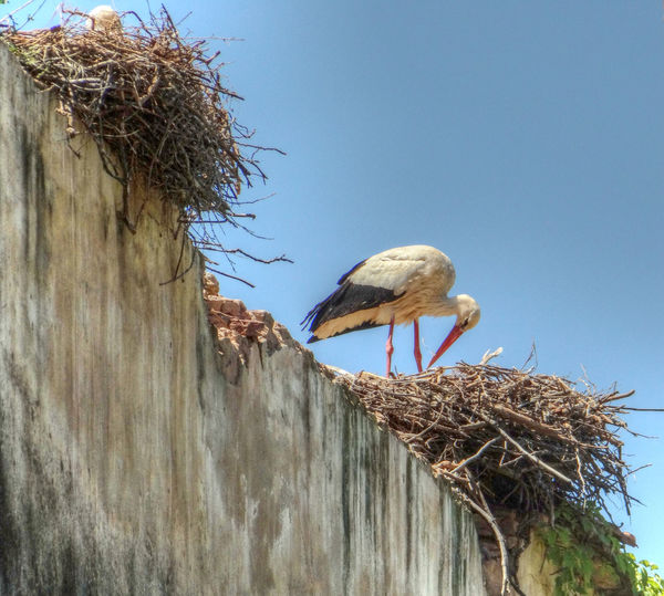Animal And Bird Photography Animals In The Wild Clear Sky Close Up Huge Nest Nature And Wildlife Photography Stork Feeding You Storks In Portugal Storks Nest Wildlife & Nature