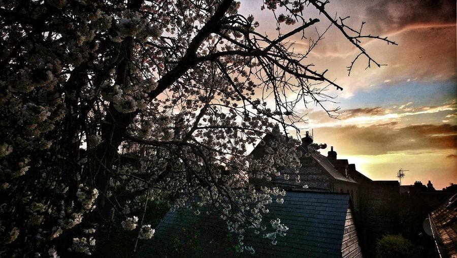 Low angle view of flowering tree and buildings against sky during sunset