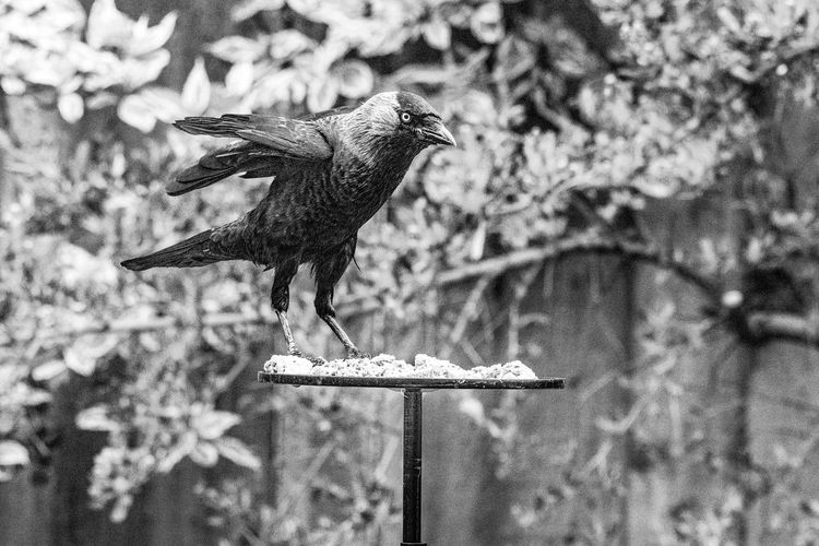 Jackdaw ( corvus monedula) perched on garden bird table Animal Beak Bird Branch Breakfast Cafe Chair Corvid Corvus Corvus Monedula Crow Curious Ecology Environment Eye Feather  Feathers Fence Food Furniture Gray Habitat Hungry Isolated Jackdaw Jackdaws Lunch Magpie Monedula Nature One Outdoor Outdoors Perching Picnic Table Pigeon Predator Railings Raven Restaurant Rook Sitting Standing Starling Steal Table Thief Wild Wildlife Wing