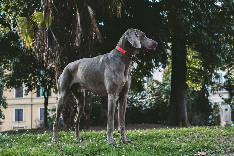 Canine Dog Domestic Domestic Animals Pets Mammal One Animal Plant Animal Themes Animal Vertebrate Tree Grass Nature Day Land Field Park No People Collar Outdoors Weimaraner My Best Photo