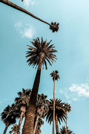 Palm trees Palms Blue Day Grain Low Angle View Nature Outdoors Palm Tree Sky Tree Tree Trunk