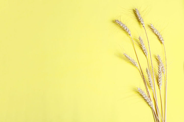 Close-up of wheat plant against yellow background