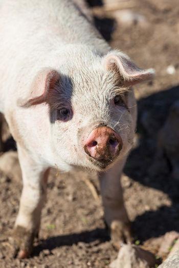Close up of a piglet