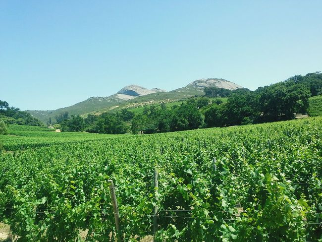 Laborie Wine Estate Cape Town Blue Sky Paarl Wine Route Beauty Of Nature Green Green Green!  Farmland Hilltops South Africa Tourism