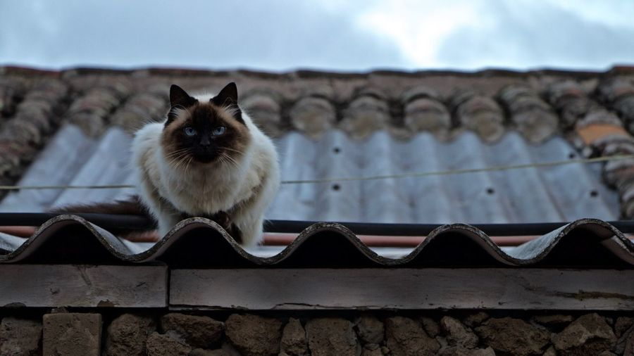 Animal Themes Cat Day Feline Mammal One Animal Outdoors Roof Siamese Cat