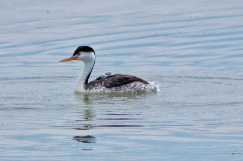 Mama Western Grebe with 2 chicks on her back ❤️ Bird Grebe Western Grebe Mom And Babies Water Water Bird On The Water