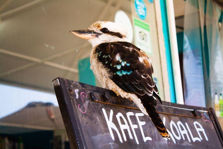 Kafe Koala Australia Great Ocean Road Rest Stop Ironic Animals Ironic  Cafe Chalk Board Cafe Menu Coastal Life Kookaburra Bird Close-up Time To Eat