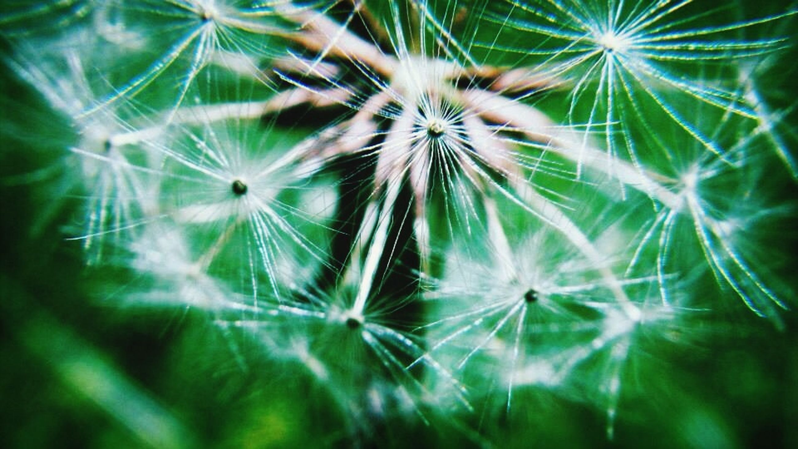 growth, dandelion, freshness, fragility, close-up, nature, beauty in nature, plant, flower, focus on foreground, dandelion seed, backgrounds, softness, full frame, day, green color, uncultivated, outdoors, natural pattern, selective focus