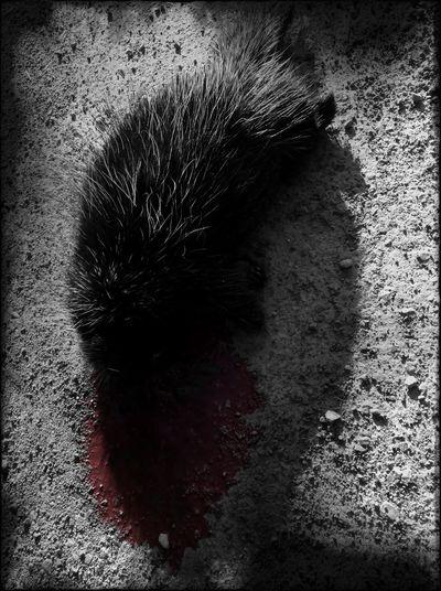 Roadkill Porcupine Dark Art Bonita Muerte
