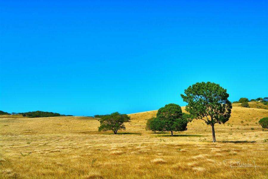 Puerto Rico Savannah Sabana Grassland Nature Naturaleza Contrast Blue Sky Cielo Azul Tree