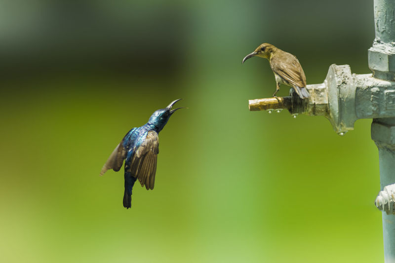 Vertebrate Bird Animal Animal Wildlife Animal Themes Animals In The Wild Flying Group Of Animals No People Hummingbird Focus On Foreground Spread Wings Day Mid-air Two Animals Nature Full Length Outdoors