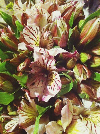 Astromelias. Flowers Flores Astromelias