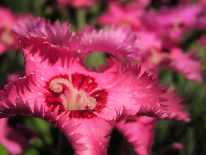 Close-up Dianthus Flower Flower Head Nature No People Outdoors Petal Pink Color Plant