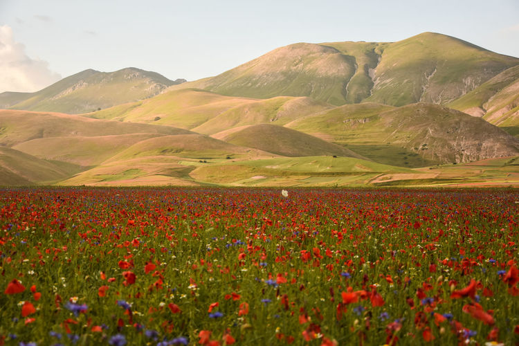 Poppy field against mountains at castelluccio