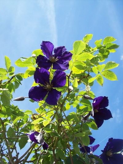Beauty In Nature Blue Close-up Day Flower Flower Head Flowering Plant Fragility Freshness Growth Inflorescence Leaf Nature No People Outdoors Petal Plant Plant Part Purple Sky Vulnerability