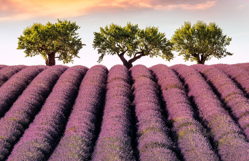 Sunset in Provence Almond Tree France Freshness Happiness Landscape_Collection Lavender Field Provence Trees Beauty In Nature Clouds Field Landscape Lavender Lavender Colored Multi Colored Nature No People Outdoors Purple Rural Scene Scenics Silence Sky Sunset Tree An Eye For Travel