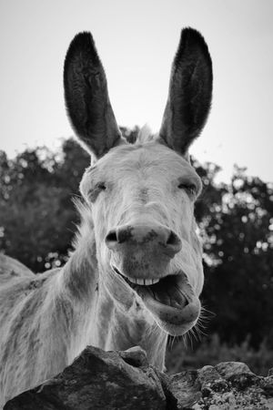 Funny Irish donkey 2 Yawning Happy Burren Teeth Animal Teeth Ironic  Oil Pump Portrait Ear Looking At Camera Smiling Sky Close-up Livestock Animal Body Part Donkey Animal Ear Herbivorous Nose