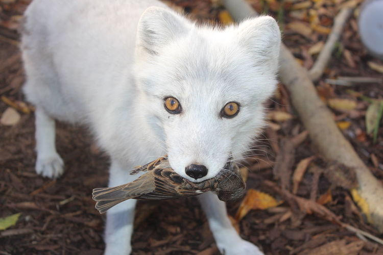Animal Themes Close-up Fox Holding Bird Looking At Camera Mammal One Animal Outdoors Portrait White Fox An Eye For Travel