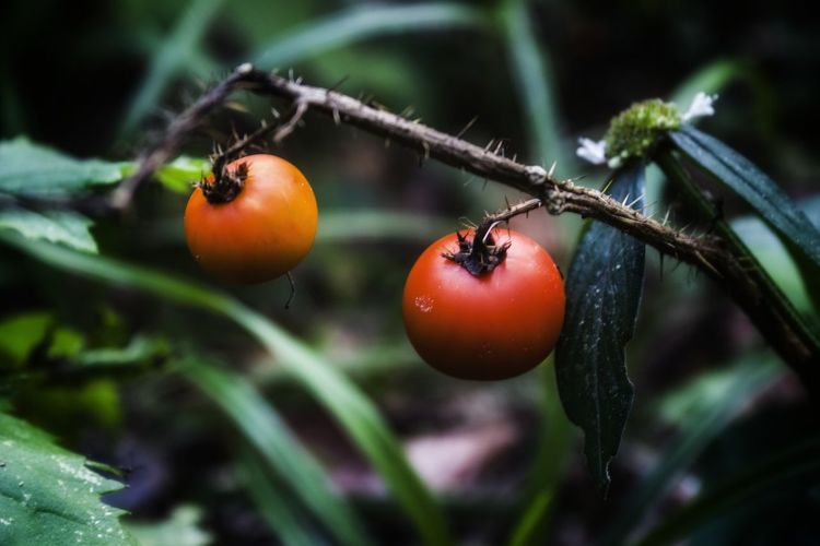 Close-up of tomatoes on tree