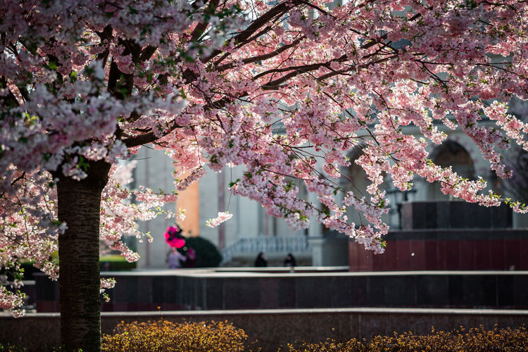 Pink cherry blossoms against trees