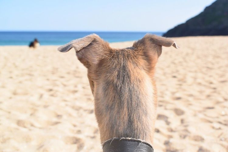 EyeEm Selects A dogs View Portrait Dog One Animal Beach Sand Outdoors Domestic Animals Focus On Foreground Close-up Whippet Play Time 😉 Summer ☀ Pet Portraits
