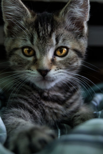 Boston Cute Pets New England  Adorable Animal Themes Animals Baby Cat Cat Close-up Cute Day Domestic Animals Domestic Cat Eye Feline Indoors  Kitten Looking At Camera Mammal No People One Animal Pets Portrait Portrait Of Cat Whisker