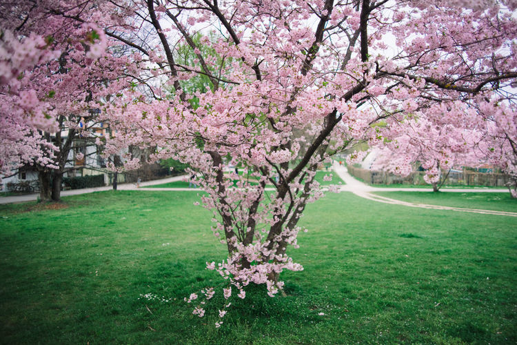 Cherry Blossom Time Beauty In Nature Blossom Branch Cherry Blossom Cherry Blossoms Cherry Tree Flower Fragility Freshness Growth Hanami In Bloom Nature Pink Color Sakura Springtime Tree Tree Trunk